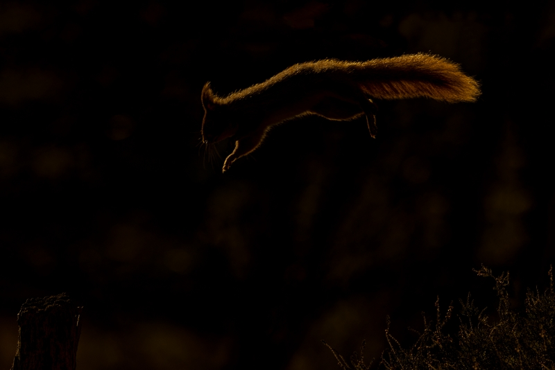 Kevin Pigney-RED SQUIRREL BACKLIT