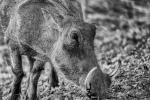 Bruce Liggitt - Kruger Warthog