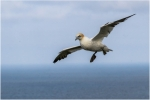 Dan Starling - Gannet coming into land