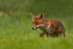 Kevin Pigney-FOX STALKING