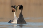 Great Crested Grebes Courtship - Kevin Pigney