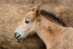 KEVIN PIGNEY - Young Konik Pony with mother