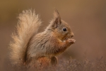 Kevin Pigney-Young Red Squirrel