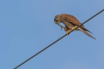 Dan Starling-Tightrope Kestrel