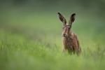 Kevin Pigney-YOUNG HARE