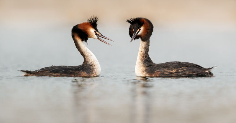 Kevin Pigney-GREAT CRESTED GREBES COURTING