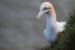 Gannets eye contact  -Bruce Liggitt