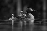 Grebe with chicks - Richard Whitmore