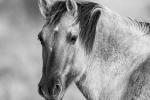Konik Pony - John Harvey