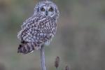 Short Eared Owl - Kevin Pigney