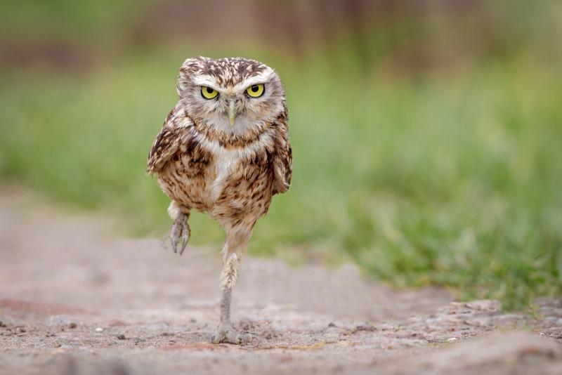 Kevin-Pigney-OWL-RUNNING