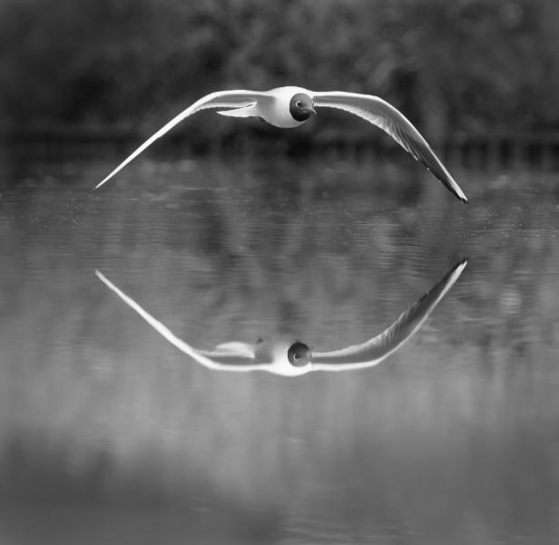 Richard-Whitmore-BLACK-HEADED-GULL-REFLECTION