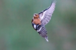 Chaffinch Pose - John Harvey
