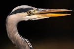 Dan Starling - Portrait of Heron
