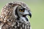EAGLE OWL-Andrew Leggat