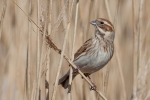 Female Reed Bunting - Shirley Eastwood