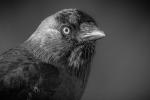 JACKDAW PORTRAIT - Daniel Starling