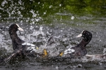Coots in disagreement - Kevin Pigney