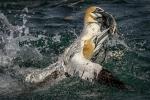 Gannets squabbling over fish - Kevin Pigney