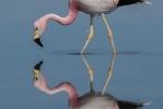 Bruce Liggitt - Andean Flamingo Reflections