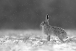 HARE IN SNOWSTORM - Kevin Pigney