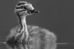 Richard Whitmore - Grebe Chick