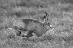 Hare kicking up a splash - Nick Bowman