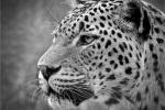 Phil Lenney - Leopard