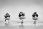 Turnstone trio - Kevin Pigney