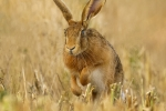 Brown hare bounding through the stubble - Nick Bowman