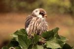 Little Hawk - Mark Pierson