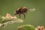 Bee in flight - Kevin Pigney