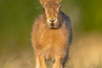 Head on young hare - Kevin Pigney