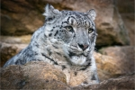 Snow Leopard on the rocks - Phil Lenney