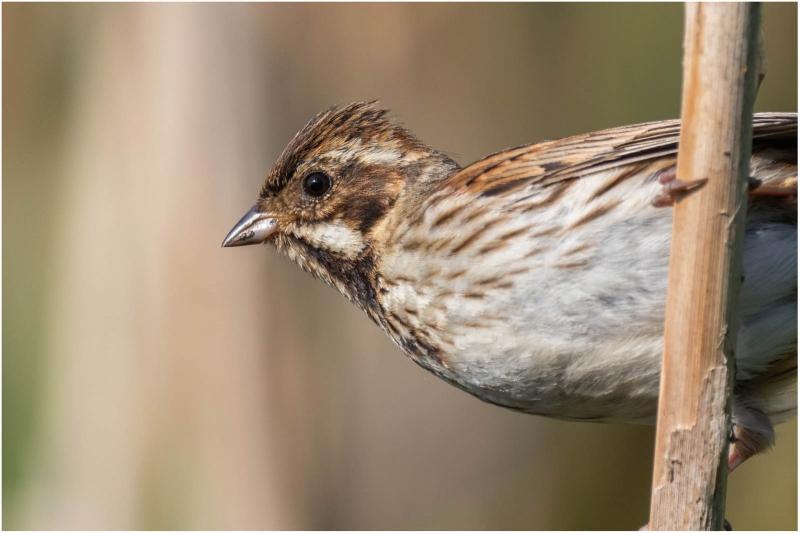 Dan Starling - Female reed bunting