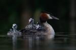 Richard Whitmore-Grebe with chicks