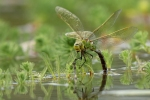 DRAGONFLY RESTING-Richard Whitmore