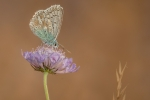 Chalkhill Blue (Polyomattus Cordon) - Kevin Pigney