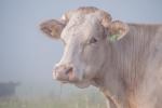 Cow with the crumpled horn - Bruce Liggitt