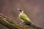 Green Woodpecker - Nick Bowman