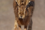 HEAD ON HARE - Kevin Pigney
