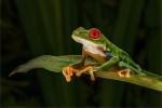 KEVIN PIGNEY - Red Eyed Tree- Frog