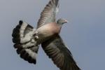 DAN STARLING - Wood Pigeon