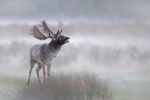 FALLOW STAG IN THE MIST-Kevin Pigney