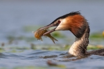 GREAT CRESTED GREBE WITH SPINEY LOACH-Richard Whitmore