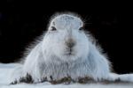 WINDSWEPT ARCTIC HARE-Richard Whitmore