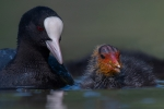 Richard Whitmore-Coot feeding Chick