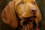 Viv Houghton - Weimeraner puppy