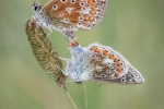 COMMON BLUES MATING - Kevin Pigney