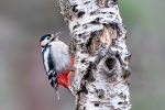 GREAT SPOTTED WOODPECKER - John Harvey